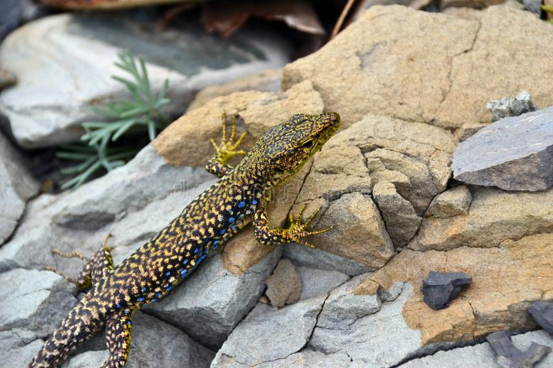 Black and yellow lizard sits on rocks.  royalty free stock images