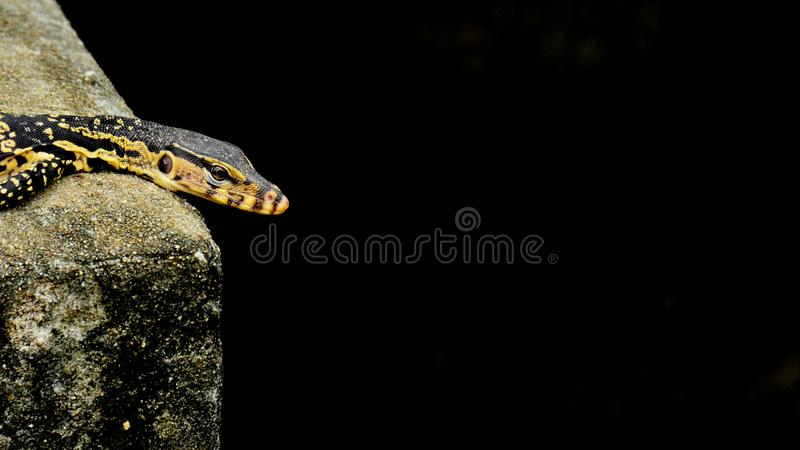 Black and yellow lizard is sunbathing. Background stock photos