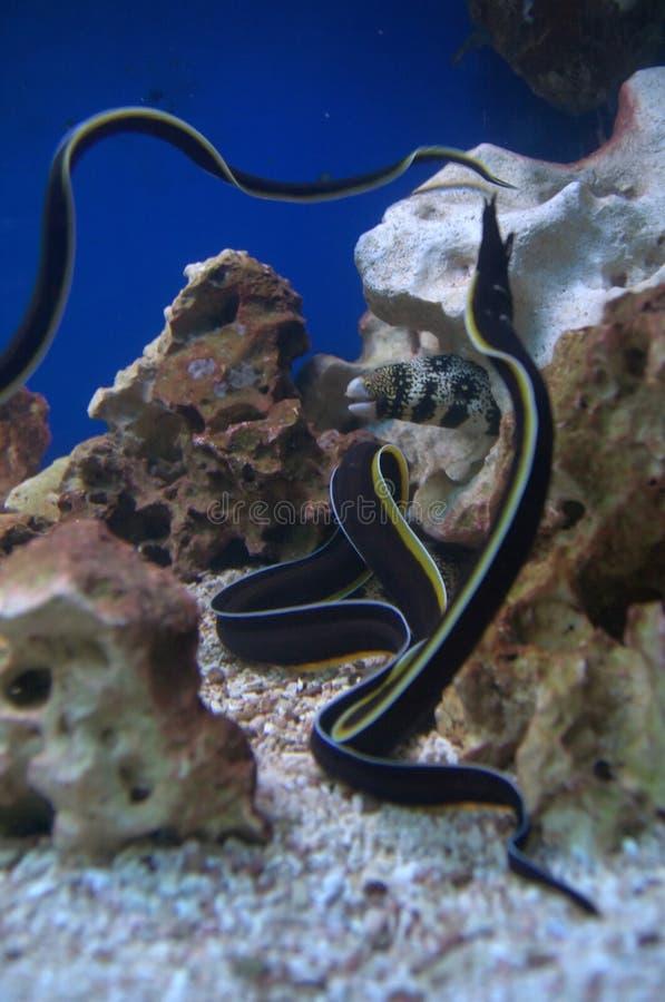Black and Yellow Moray Eel Fish royalty free stock photos