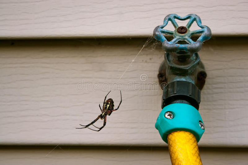 Black and Yellow Orb Weaver Spider. Hanging out in its web by a water spicket royalty free stock images