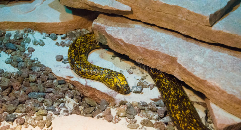 Black and yellow snake royalty free stock image
