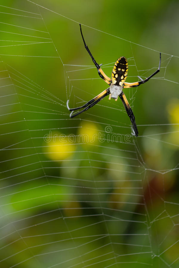 Black and yellow spider close up. Disturbed orb-weaver spider waits at side of web until she deems it safe to return to the middle of her web. Spider on web stock image