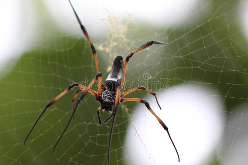 Black and yellow spider on web. Closeup with blurred background royalty free stock image