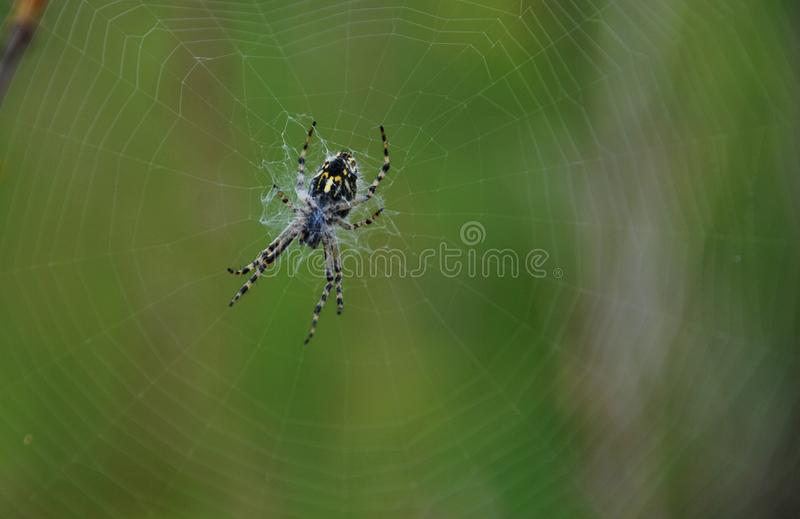 Black and yellow spider on web. Summer in Ural forest stock image