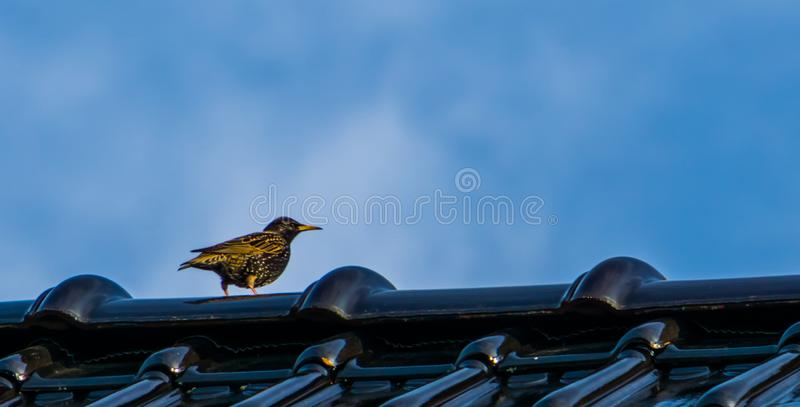 Black with yellow starling sitting on a rooftop, common bird species of europe. A black with yellow starling sitting on a rooftop, common bird species of europe royalty free stock photos