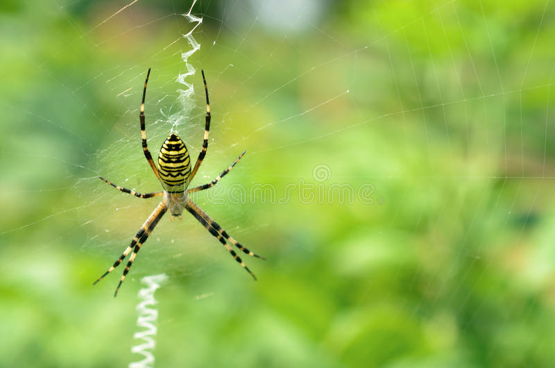 Black and yellow striped spider on the web. Black and yellow striped spider on the web royalty free stock photos