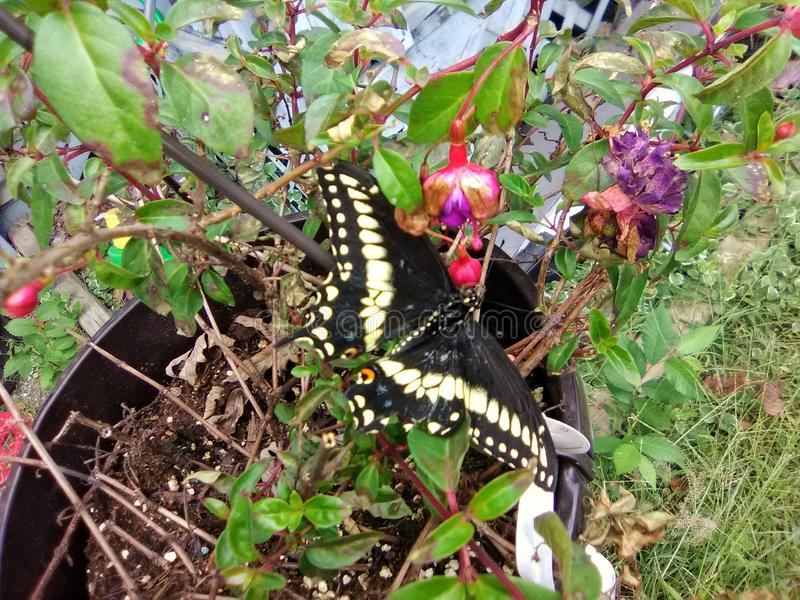 Swallowtail Butterfly on a fuchsia Hanging plant royalty free stock photo