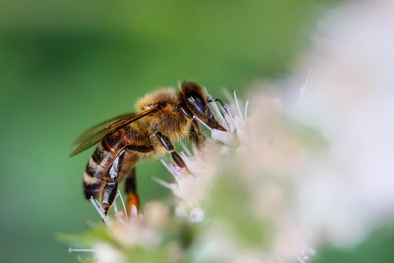 Black and yellow worker bee royalty free stock image