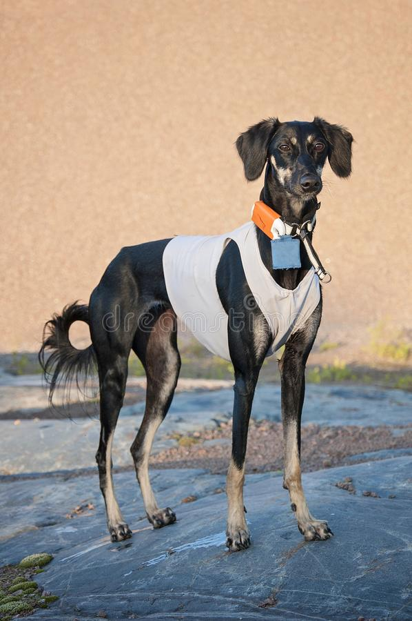 Black young and alert saluki dog outdoors in the lovely hot Summ. Er weather in Finland. She`s having a tracker on her neck and a running vest on royalty free stock photography