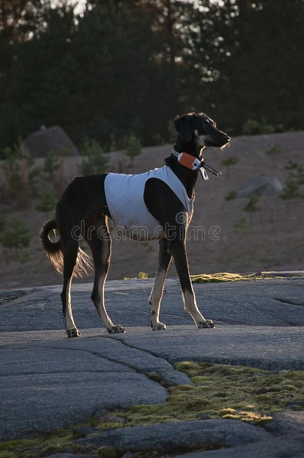 Black young and alert saluki dog outdoors in the lovely hot Summer weather in Finland. She`s having a tracker on her neck and a ru. Nning vest on stock images