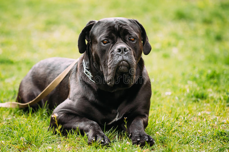 Black Young Cane Corso Dog Sit On Green Grass Outdoors. Big Dog royalty free stock photos