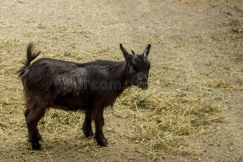 Black Young Pygmy stock photography