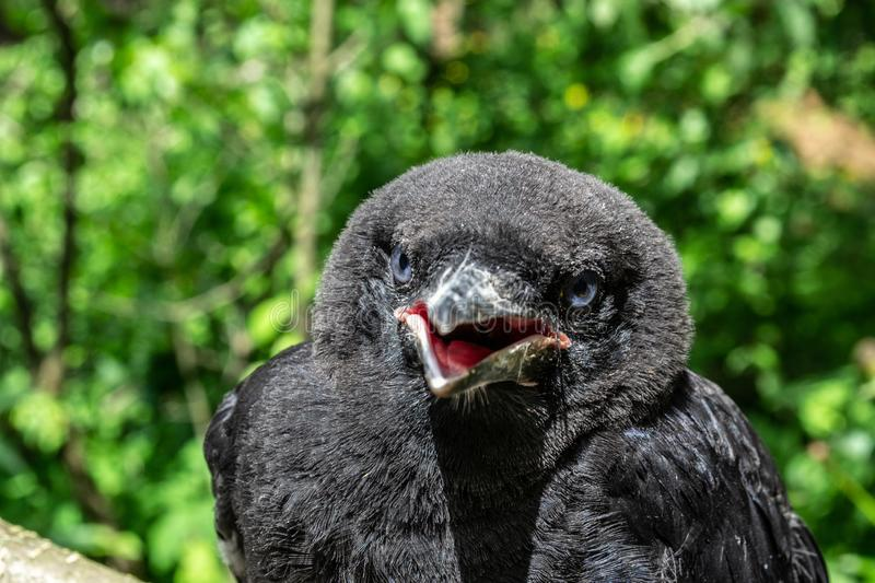 Black young Rook bird (Corvus frugilegus) with blue eyes and  opened, red inside beak, close-up on blurry background, stock image