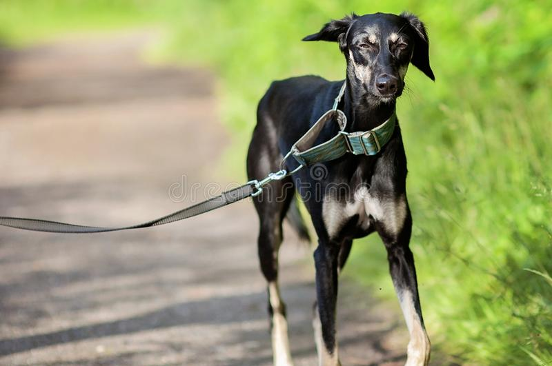 Black young saluki dog outdoors enjoying the lovely Summer weather in Finland, Porvoo royalty free stock photo