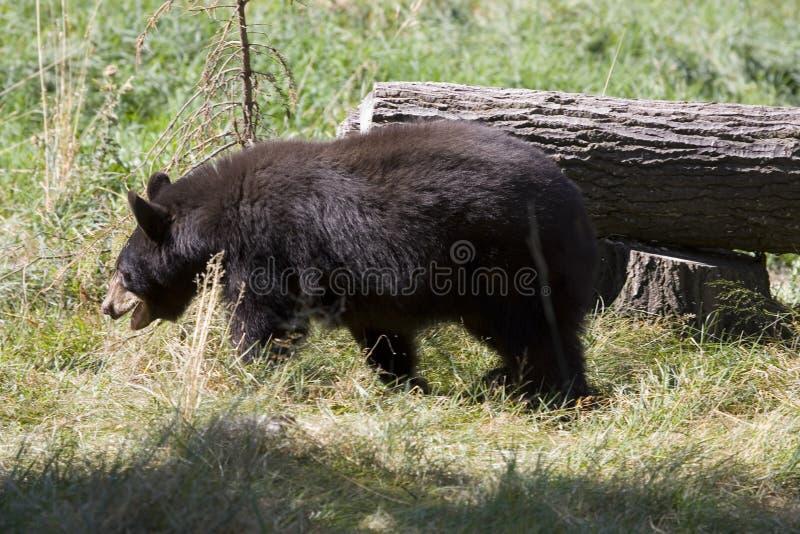 Blackbear lizenzfreie stockbilder
