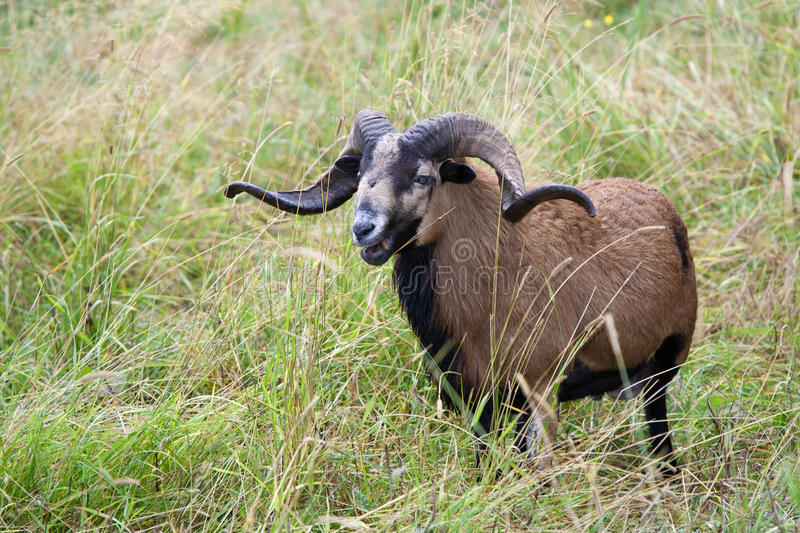 Download Blackbellied Sheep In Grass. Stock Photo - Image: 21372910