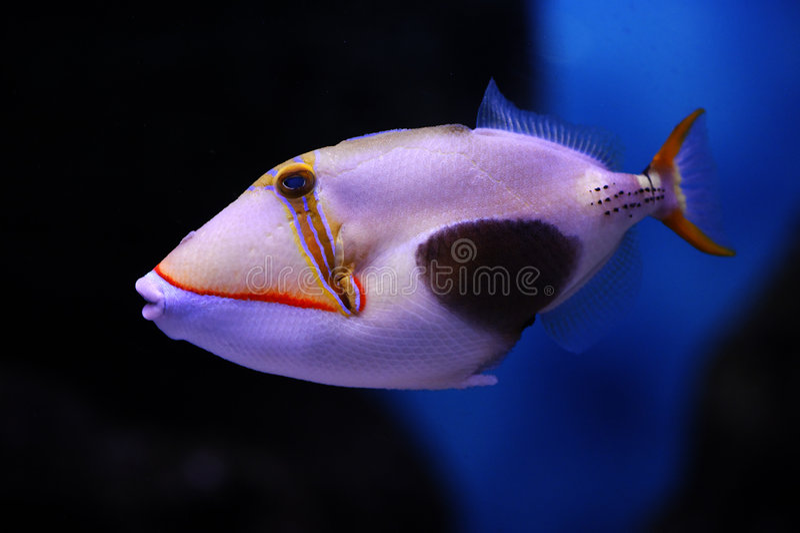 blackbelly triggerfish στοκ εικόνες