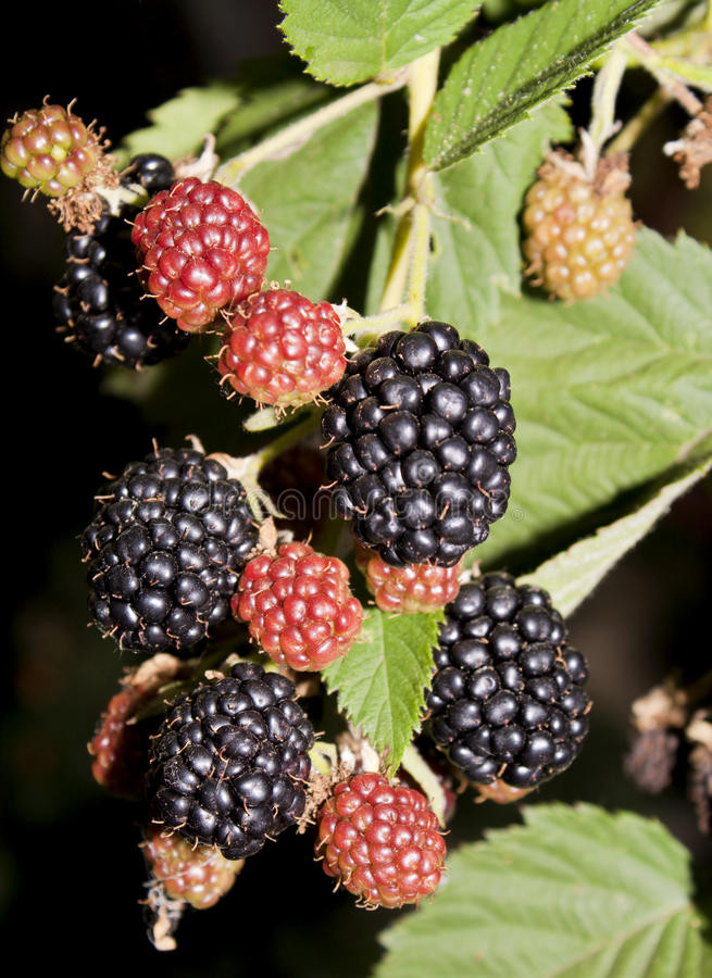 Blackberries. Most of them are ripe, some are still red royalty free stock image