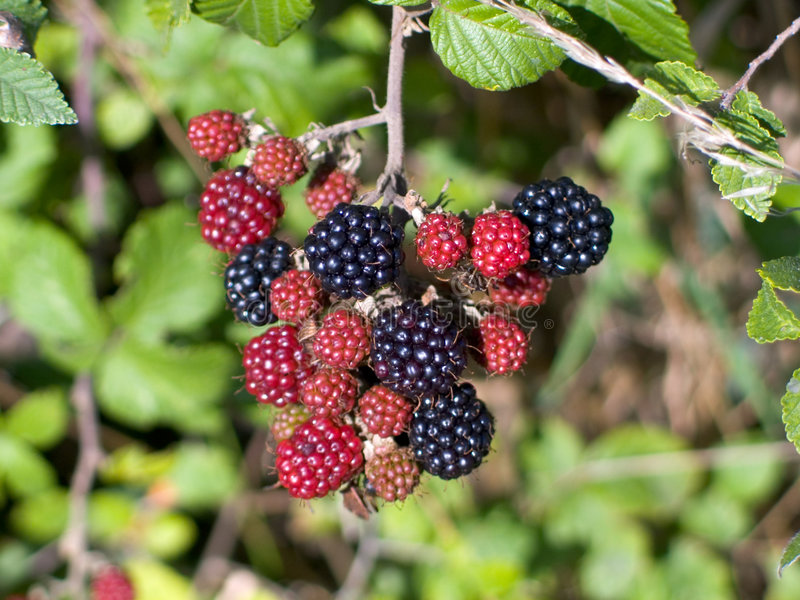 Download Blackberries stock image. Image of fresh, marionberry, seeds - 218677
