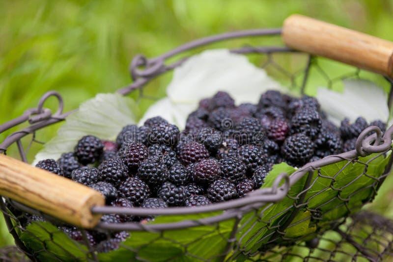Download Blackberries in basket stock image. Image of health, abundant - 10668903