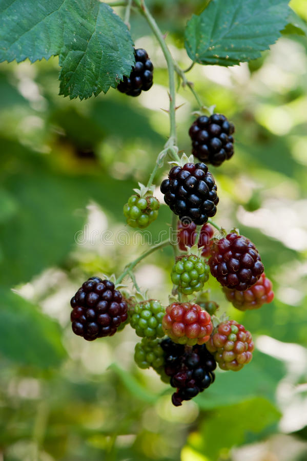 Blackberries On A Branch Stock Images