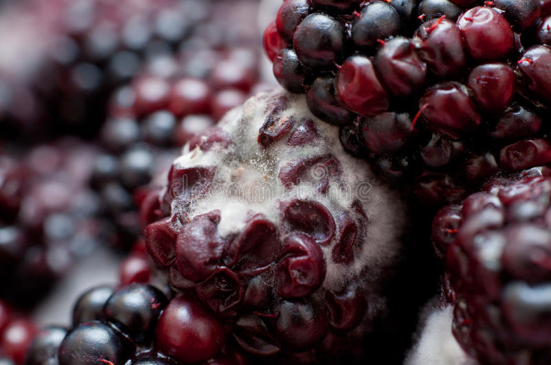 Download Blackberries Covered In White Fungus And Decaying Stock Image - Image: 33314927