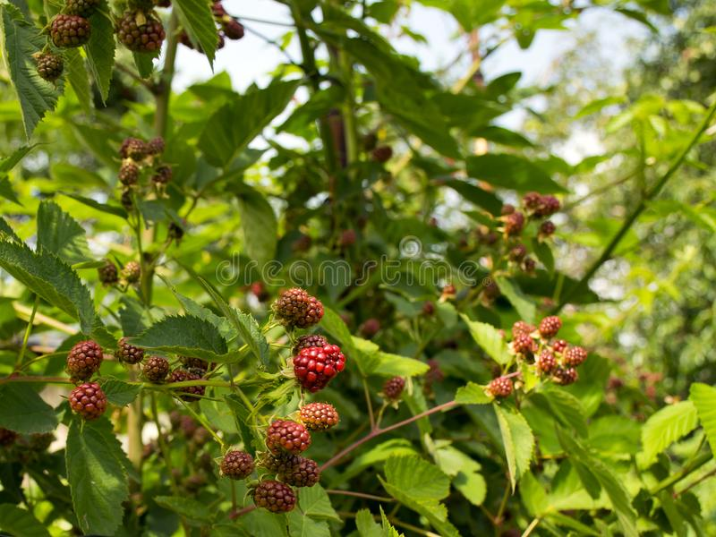 Blackberries grow on a bush in the garden. Black sweet berry. Harvesting royalty free stock image