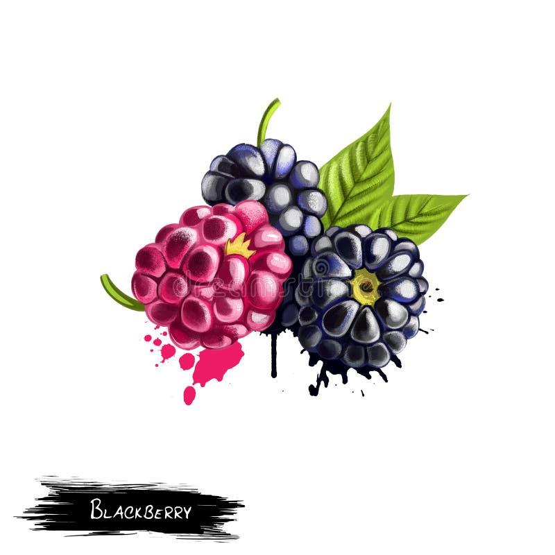 Blackberries isolated on white background stock illustration