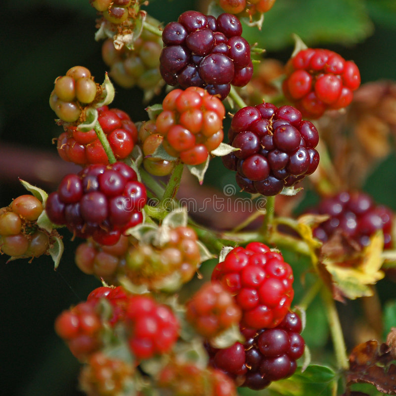 Blackberries for the picking. royalty free stock image