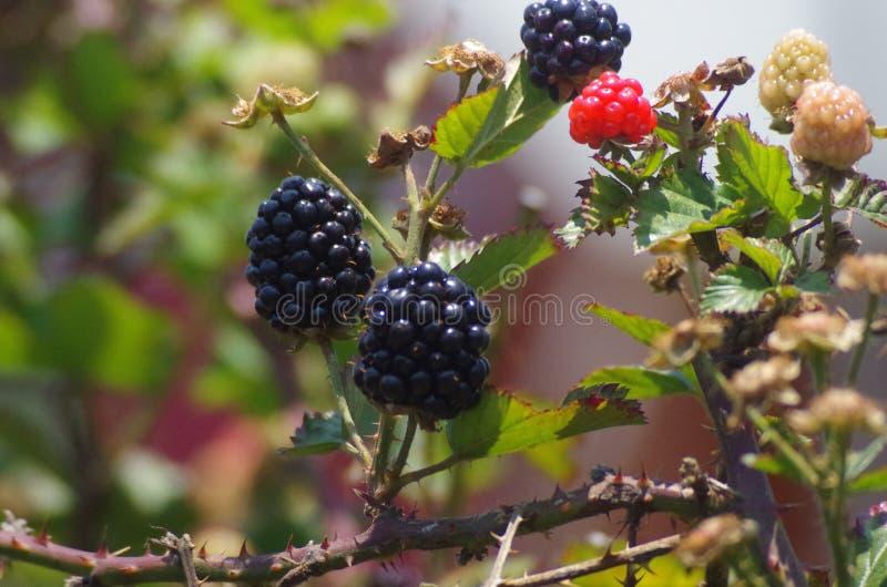 Blackberries platantion on Francisco Morazan Honduras 11 royalty free stock photography
