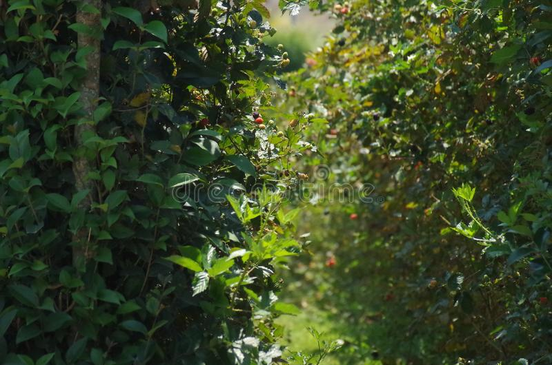 Blackberries platantion on Francisco Morazan Honduras 12 royalty free stock photo