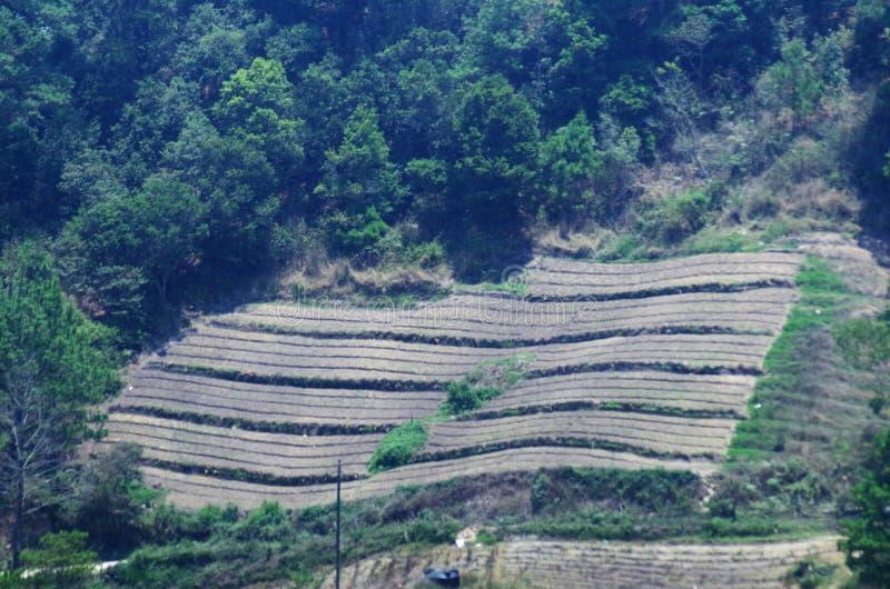 Blackberries platantion on Francisco Morazan Honduras 13 stock images