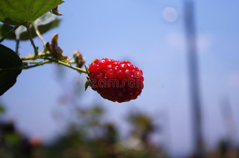 Blackberries platantion on Francisco Morazan Honduras 18 royalty free stock photo
