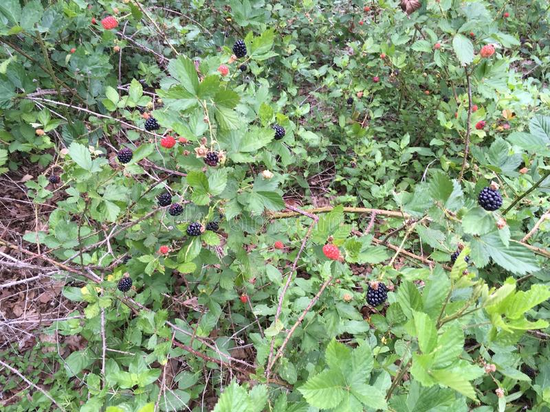 Blackberries On the Vine royalty free stock photos