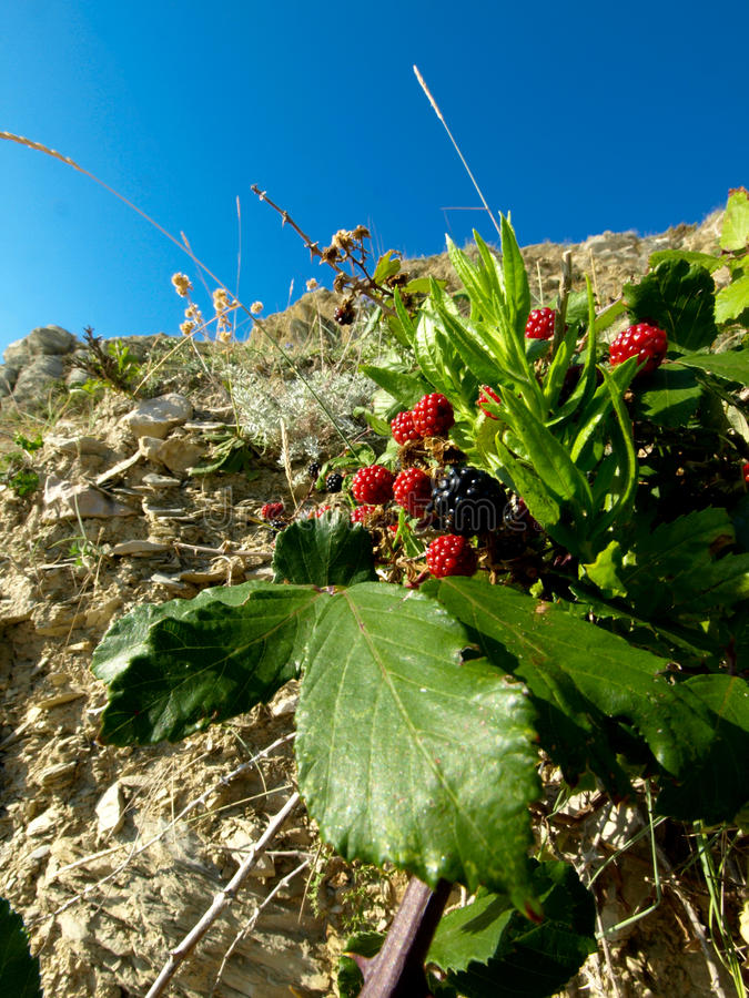 Blackberry. Wilde blackberry and raspberry growing on inaccessible terrain, on rocks, under the blue sky, nature, plant growing on rocks stock photo