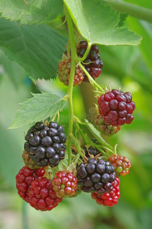 Download Blackberry stock photo. Image of fruity, sweet, eating - 26596924