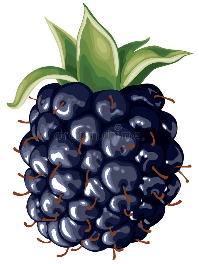 Blackberry royaltyfri illustrationer