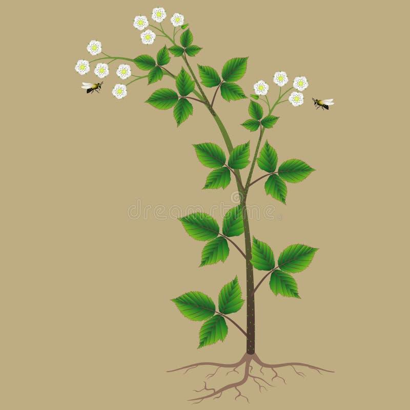 Blackberry arbusto con las flores y las abejas en un fondo beige stock de ilustración