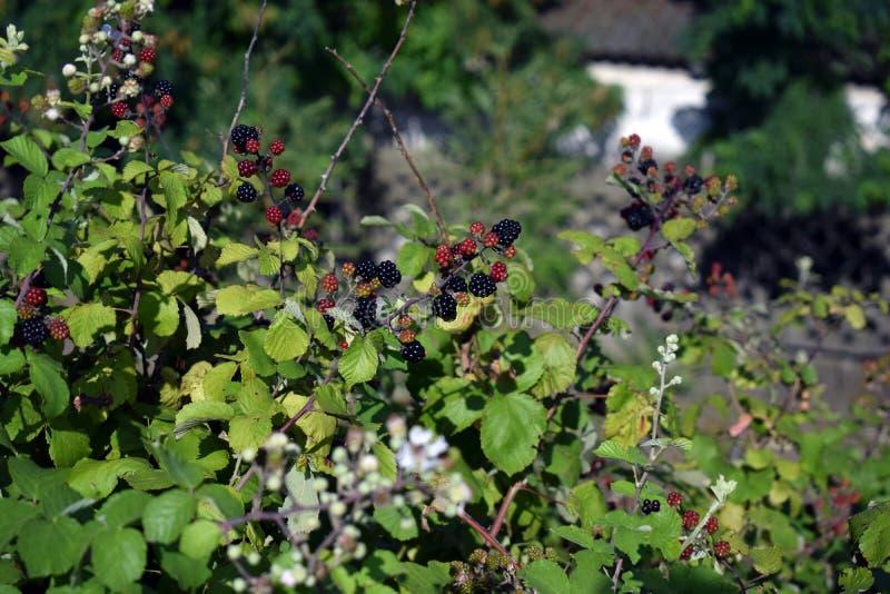 Blackberry bär mognar på gröna taggiga buskar royaltyfri bild