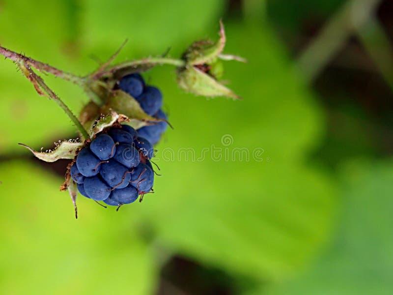 Blackberry berries stock photography