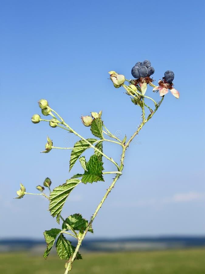 Blackberry berries against blue sky stock images