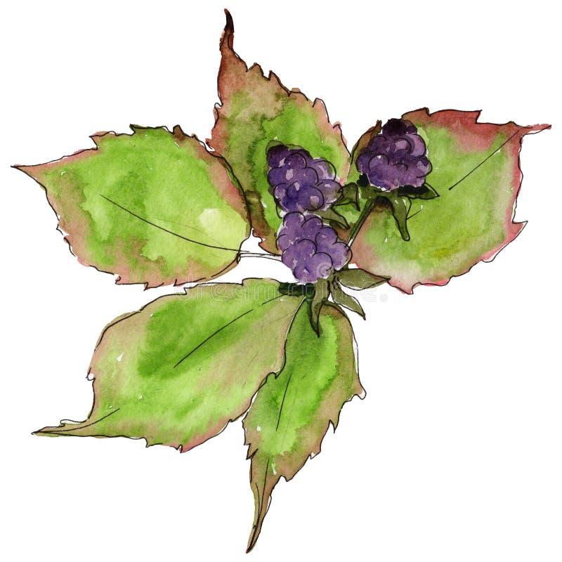 Blackberry blad Blom- lövverk för bladväxtbotanisk trädgård royaltyfri illustrationer