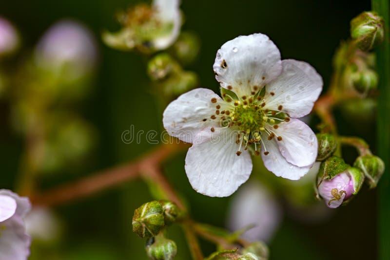 Blackberry-bloem en een spin stock afbeeldingen