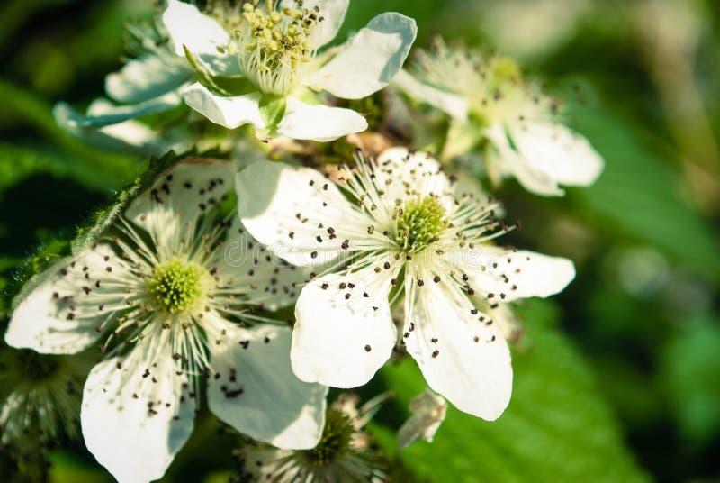 Blackberry-Bloemen in Bloei Achtergrond royalty-vrije stock afbeelding