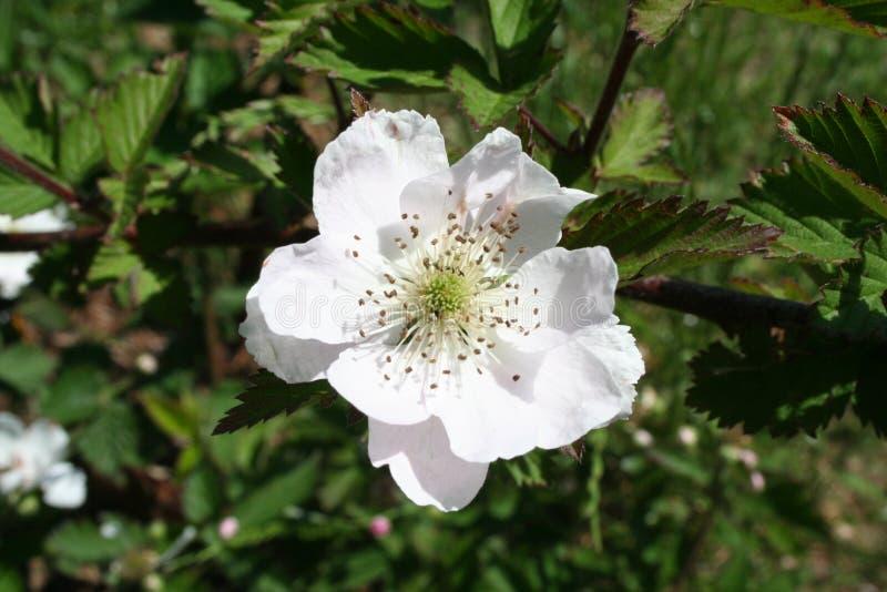 Blackberry blossom stock image