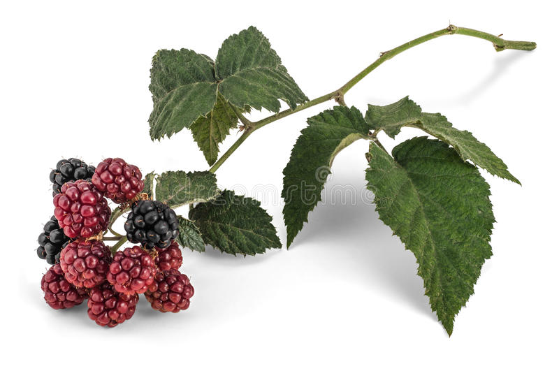 Blackberry Branch stock images