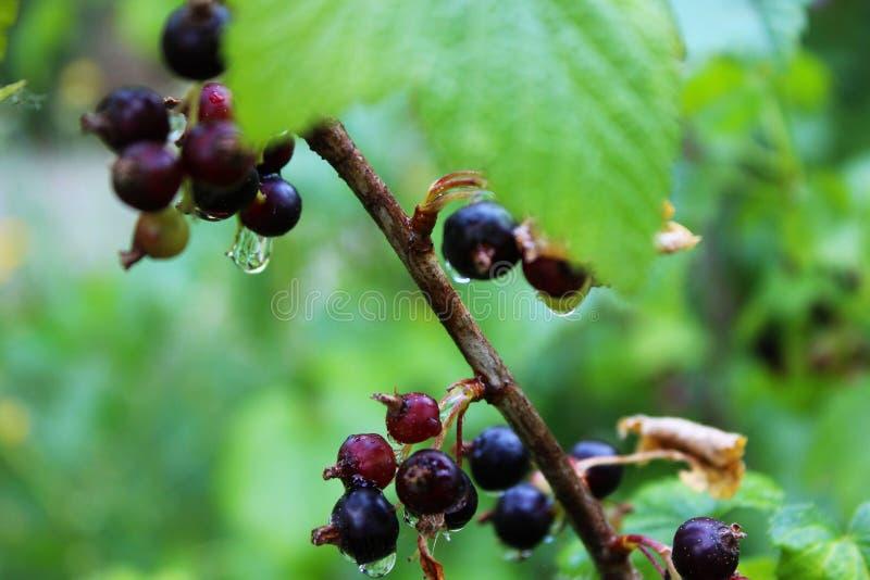Blackberry branch. A close-up photo of Blackberry branch stock photo