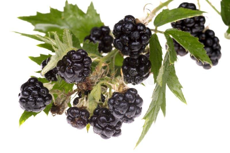 Download Blackberry brunch stock photo. Image of eating, oregon - 1326780