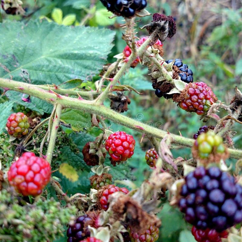 Blackberry buisson photographie stock
