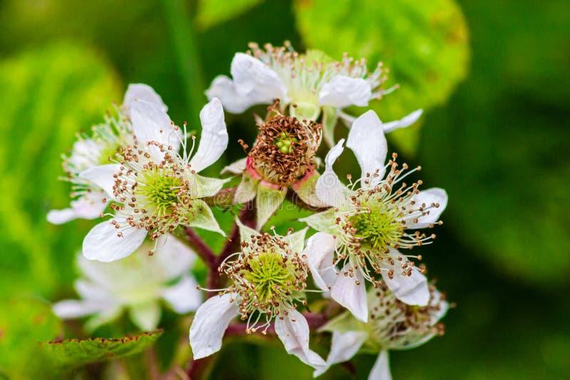 Blackberry buisson en fleur, photos libres de droits